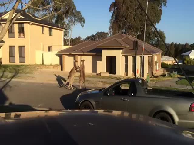 Kangaroo Street Fight in Australia