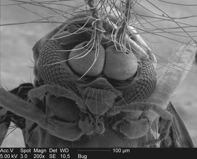 电子显微镜下的蚊子