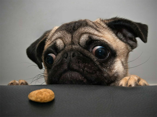 Pugs Love Food of all Types and Quantities