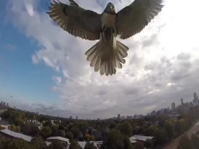 Hawk Attacks Quadcopter in Mid-Air