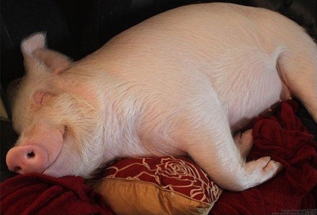 The Pet Pig Who Lives in the House with the Family