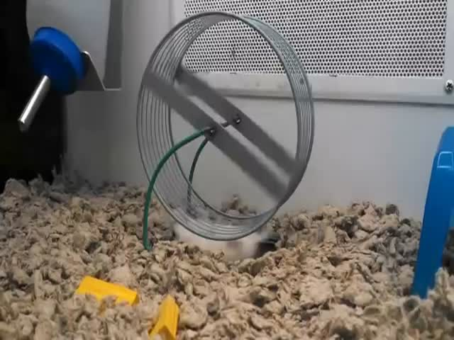 World's Laziest Hamster or Smartest One?  (VIDEO)