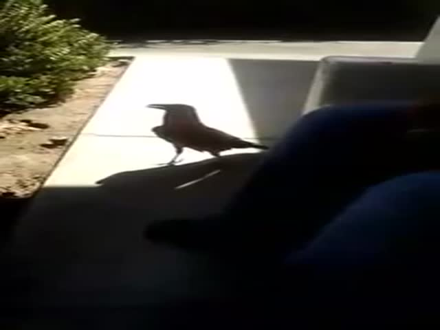 A Crow with Terrible Manners