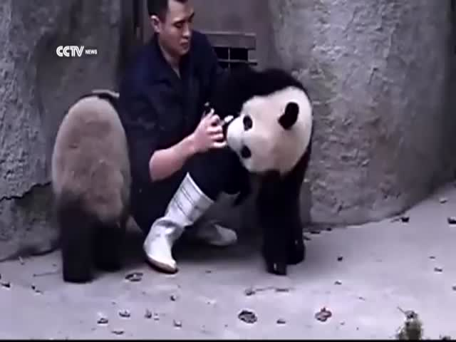 Chinese Zookeeper Struggles to Give Baby Pandas Their Medication