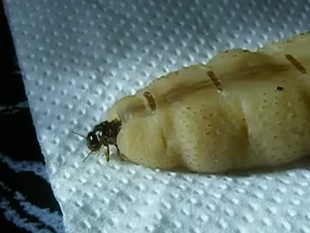 Look at the Size of This Termite Queen  (VIDEO)