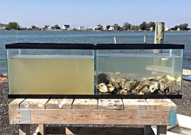 Witness the Amazing Water Filtering Capacity of Oysters