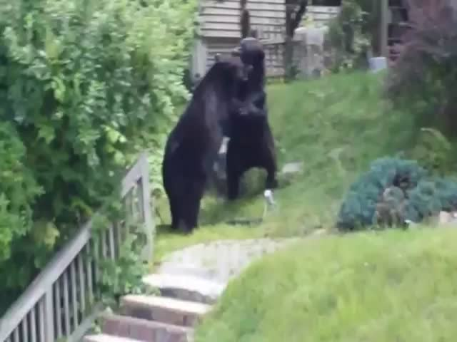 Bear Fight in New Jersey Residential Neighborhood