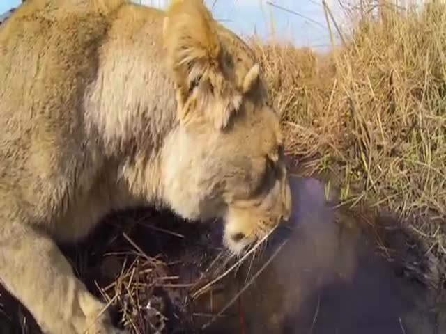 Lioness Hunts Down a Buck with a GoPro Mounted on Her Back  (VIDEO)