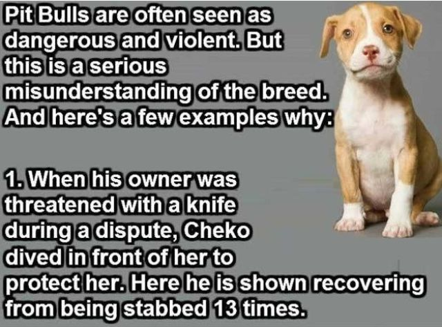 Reasons Why Pitbulls Don't Deserve Their Bad Rep