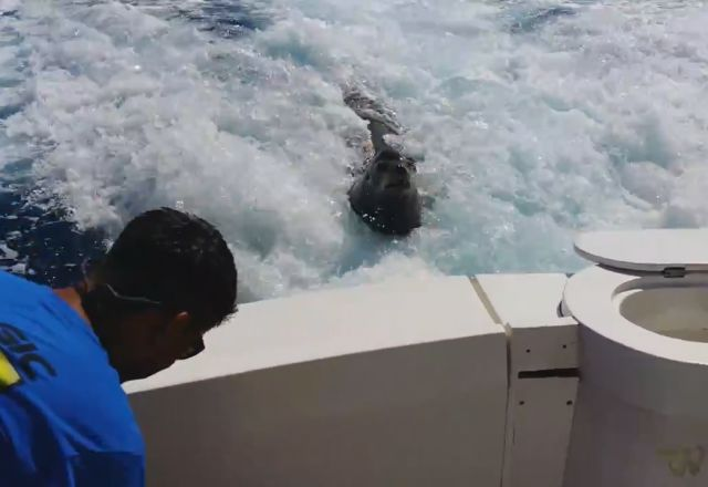 Sea Lion Chases Boat to Collect Tribute