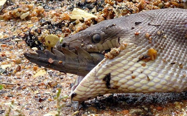 A Snake vs. A Crocodile with an Interesting Twist