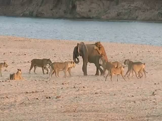 Young Elephant Survives Attack by 14 Lions  (VIDEO)