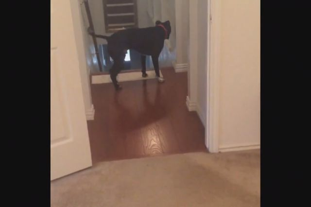 Pit Bull Found a Way to Overcome His Fear of Doorways