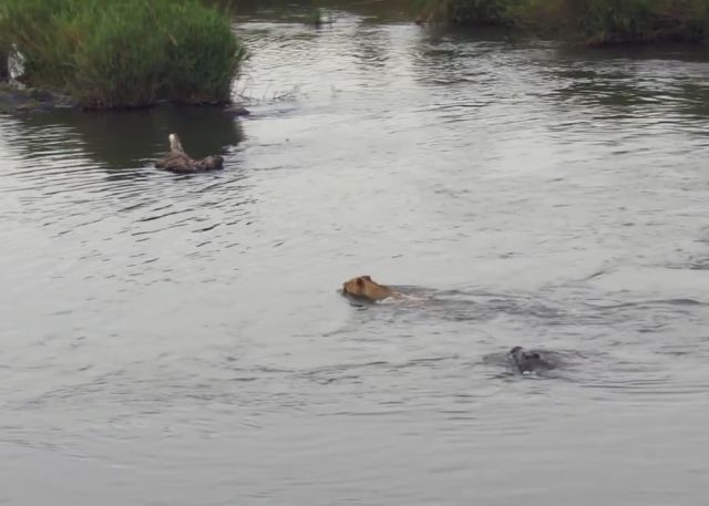 What Happens When a Young Male Lion Ventures into Crocodile Waters