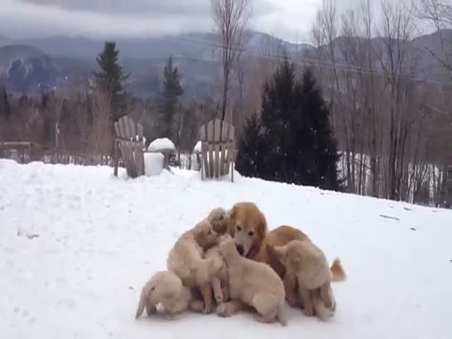 Golden Retriever Playing with Her Puppies
