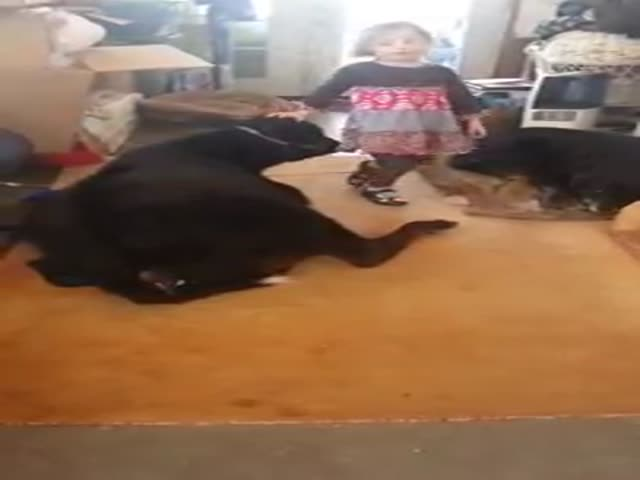 5-Year-Old Girl Lets Pet Baby Cow Inside the House
