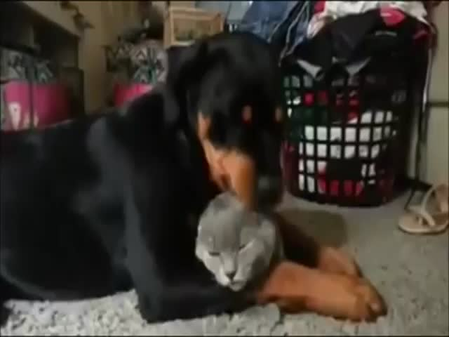 Rottweiler Grooms Its Pet Kitty and It's Adorable