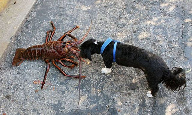 Now This Is One Massive Lobster!