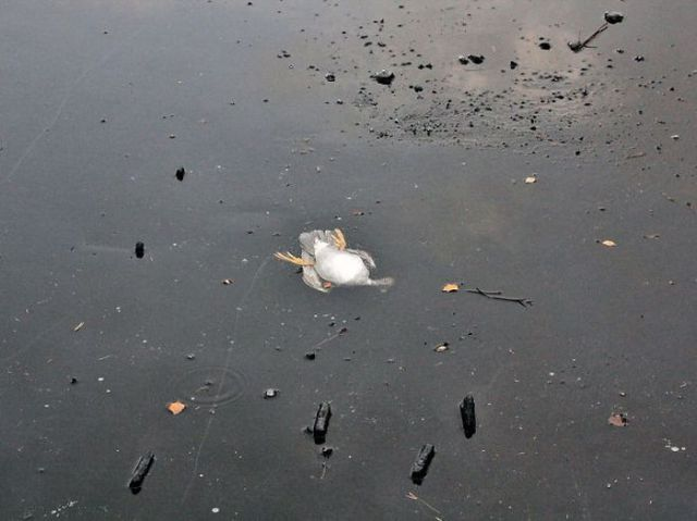 A Sweet Rescue of an Almost Frozen Duck