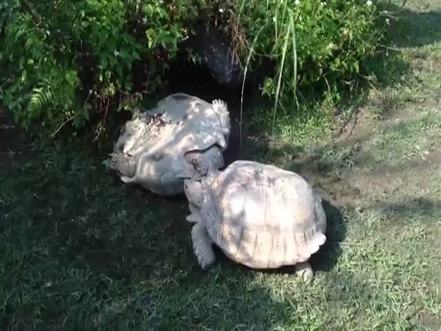 'Good Guy' Tortoise Rescues Overturned Friend