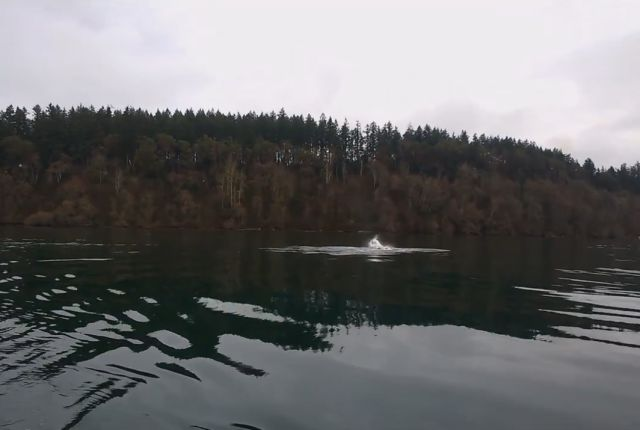 A Pod of Orcas a Little Bit Too Close for Comfort