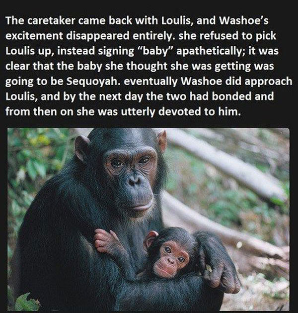 A Chimp's Surprising and Touching Reaction to Being Told Her Baby Had Died