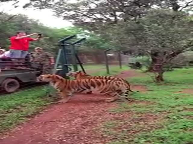 The Glorious Jump of a Tiger Jumping to Catch Meat