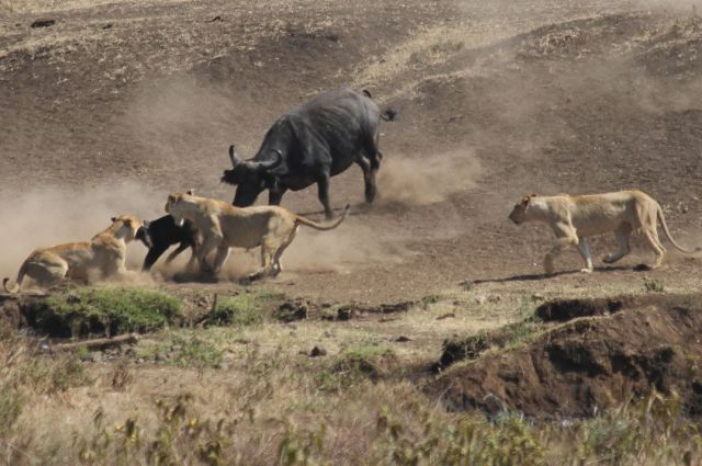 Brave Buffalo Saves Its Calf from Pride of Lions