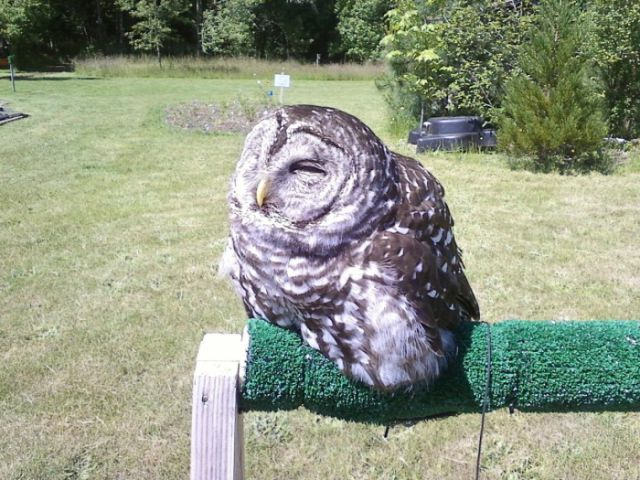 The Real-life Melting Owl