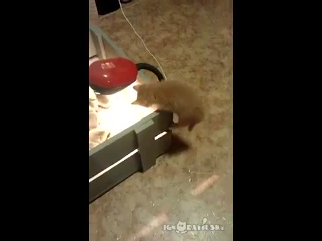 Curious Kitten Investigates Box of Ducklings