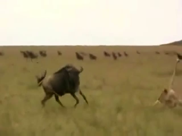 How to Make the Death of a Wildebeest More Bearable  (VIDEO)