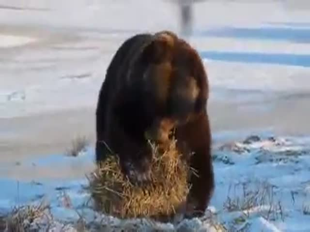 Bear Is Having a Blast with Straw  (VIDEO)