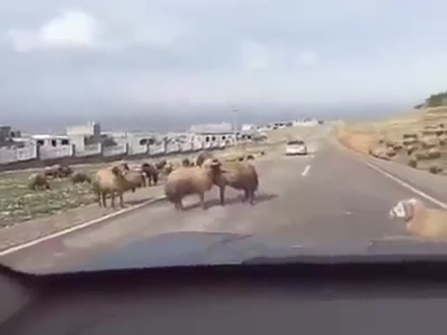 Ram Accidentally Headbutts a Passing Car