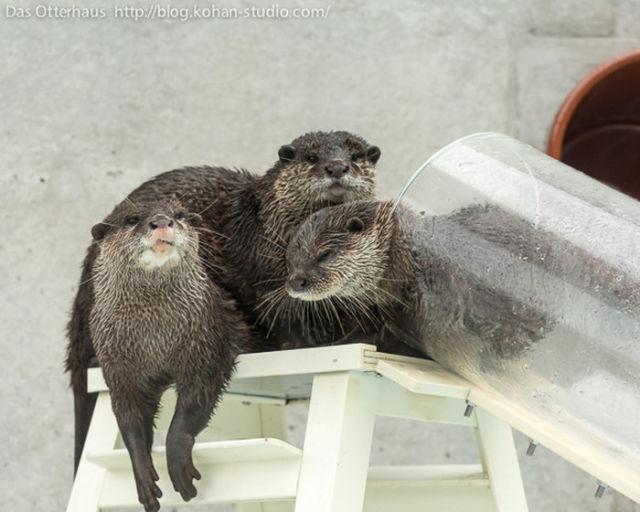 A Sweet Otter Exhibit in Japan