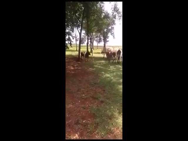 Ram vs Cow