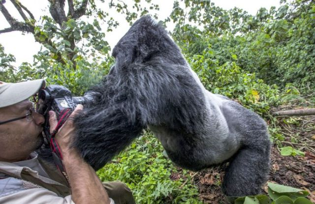 Photographer Gets Sucker Punched by a Gorilla