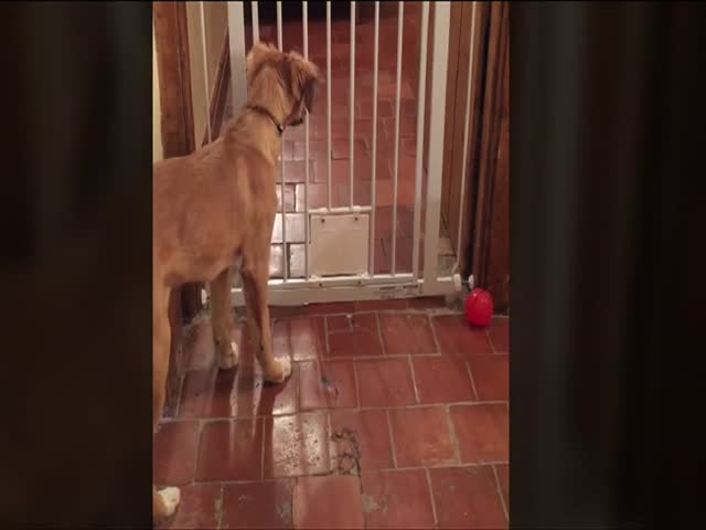 Houdini Dog Escapes from Lockup  (VIDEO)