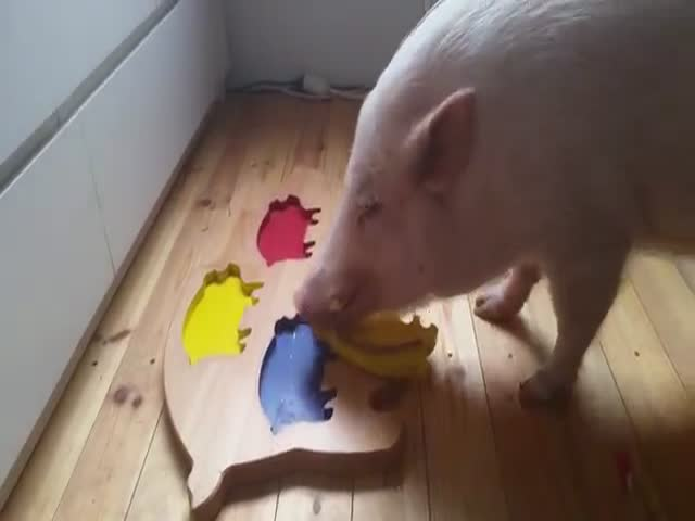 Clever Pig Solves Wooden Puzzle  (VIDEO)