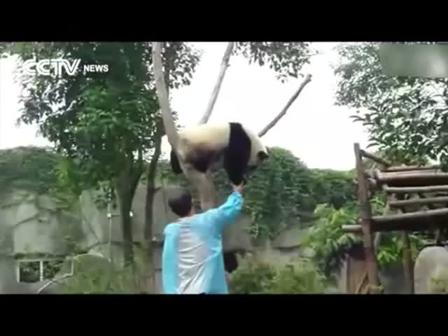 Panda Asks for Hugs to Get Down from Tree
