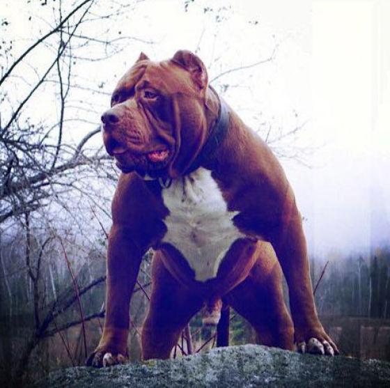 The Biggest Pitbull On the Planet (23 pics) - Izismile com