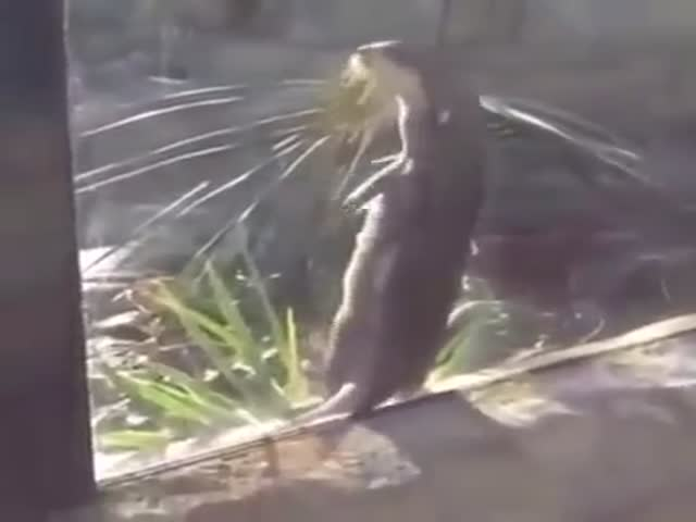 This Otter Is Killin' It  (VIDEO)