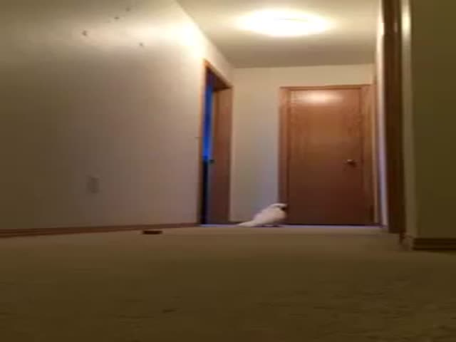 Cockatoo Running Around Yelling Absolute Nonsense  (VIDEO)