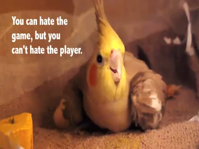 The First 30 Days of Baby Cockatiels