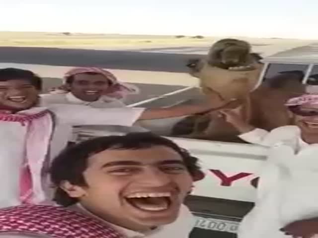 Camel Laughs with His Friends
