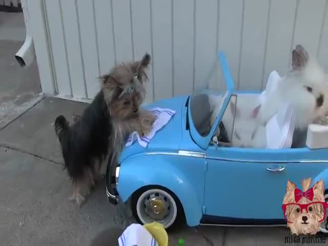 The Cutest Car Washing Dog Ever  (VIDEO)