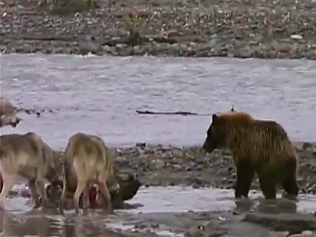 Grizzly Bear Battles Four Wolves for a Piece of Meat