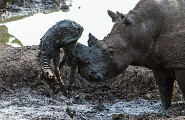 A Rhino Shows Its Nurturing Nature in a Touching Rescue