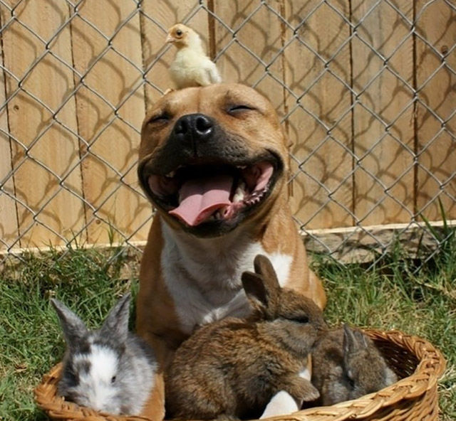 "The Top Reasons Why Pitbulls Make the ""Worst"" Pets"