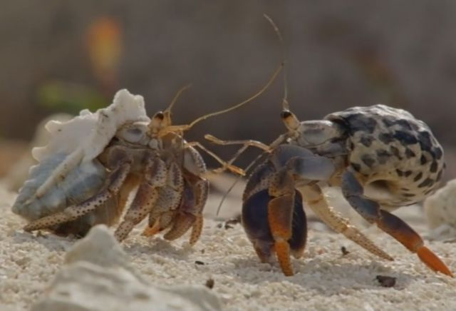 Hermit Crabs Form a Line from Smallest to Biggest to Trade Shells