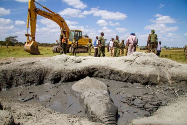 Rescuers Use a Forklift to Free an Elephant Stuck in the Mud